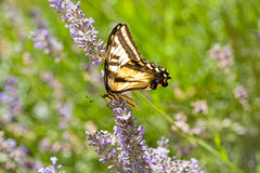 Western Tiger Swallowtail, Papilio rutulus, on Lav. Western Tiger Swallowtail, Papilio rutulus, in field of Lavender stock images