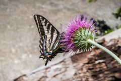 Western Tiger Swallowtail Papilio rutulus pollinating a thistle flower, Yosemite National Park, California royalty free stock image