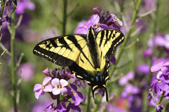 Western Tiger Swallowtail (Papillo rutulus). Orlebar Point, Gabriola Island , British Columbia, Canada royalty free stock image