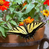 Western Tiger Swallowtail, Pterourus rutulus. Western Tiger Swallowtail in a pot of native zinnias on a balcony in Santa Fe, New Mexico stock photos