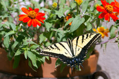 Western Tiger Swallowtail, Pterourus rutulus. Western Tiger Swallowtail in a pot of native zinnias on a balcony in Santa Fe, New Mexico stock photography