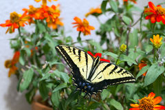 Western Tiger Swallowtail, Pterourus rutulus. Western Tiger Swallowtail in a pot of native zinnias on a balcony in Santa Fe, New Mexico royalty free stock image