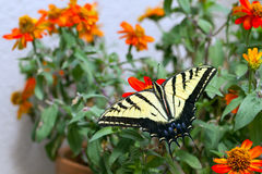 Western Tiger Swallowtail, Pterourus rutulus. Western Tiger Swallowtail in a pot of native zinnias on a balcony in Santa Fe, New Mexico stock images