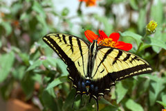 Western Tiger Swallowtail, Pterourus rutulus. Western Tiger Swallowtail in a pot of native zinnias on a balcony in Santa Fe, New Mexico royalty free stock photo