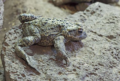 Western Toad Hidden On Rock Royalty Free Stock Photos