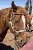 Western Trail Riding Horse at Riding Stable. A tired western trail riding horse waits for the next rider or the end of a long hot day at a riding stable located Stock Photos