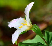 Western Trillium Stock Photography