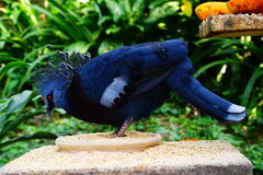 Western & Victorian crowned-pigeon. Staying on her meals Royalty Free Stock Photo