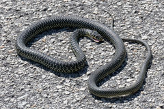Western Whip Snake (Coluber viridiflavus) Stock Photo