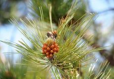 Western White Pine Or Pinus Monticola. Spring growth on western white pine or Pinus monticola Royalty Free Stock Image