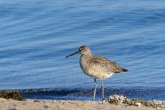 Western Willet on the Beach royalty free stock photography