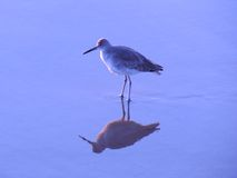 Western willet standing on a mirror beach Royalty Free Stock Images