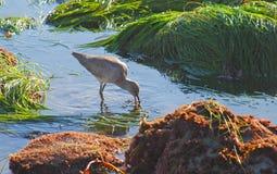 Western Willet (Tringa semipalmata) feeding among the green surfgrass. The Western Willet (Tringa semipalmata) is seen feeding among the green surf grass exposed stock photography