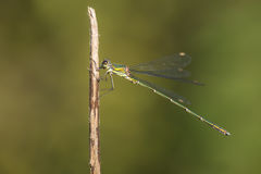 Western Willow Spreadwing Royalty Free Stock Photos