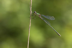 Western Willow Spreadwing Royalty Free Stock Photo
