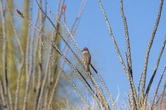 Western Wood Pewee in an Ocotillo. In the Desert in Organ Pipe Cactus National Monument in Arizona stock image