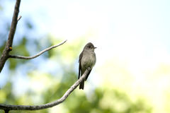 Western Wood Pewee. A western wood pewee sits on a branch next to its nest in the Northern Utah mountains Royalty Free Stock Photography