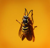 Western Yellow Jacket on yellow background Royalty Free Stock Photos