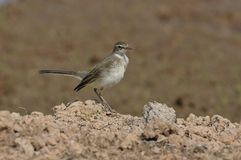 Western Yellow Wagtail Royalty Free Stock Photos