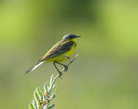 Western Yellow Wagtail. On flower branch Stock Photography
