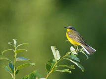 Western Yellow Wagtail on bush. Western Yellow Wagtail on branch of bush Royalty Free Stock Image