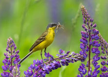 Western Yellow Wagtail. On lupine flower Stock Image