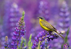 Western Yellow Wagtail. On lupine flower Royalty Free Stock Photo