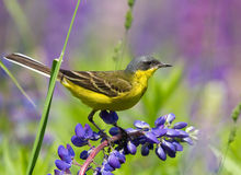 Western Yellow Wagtail. On lupine flower Stock Photography