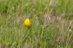 Western yellow wagtail Royalty Free Stock Photography