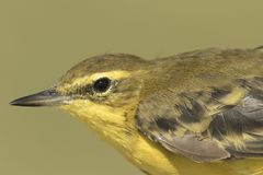 Western yellow wagtail in the morning light with out of focus background. stock image