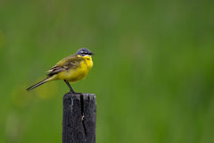 Western Yellow Wagtail (Motacilla flava). The Western Yellow Wagtail (Motacilla flava) is a small and very beautiful passerine found in wet meadows, Uppland stock photos