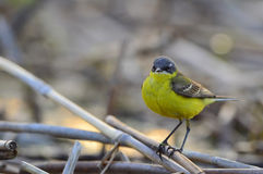 The western yellow wagtail. (Motacilla flava Royalty Free Stock Image