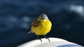 Western yellow wagtail Stock Photo