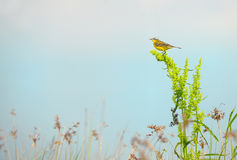 Western yellow wagtail Motacilla flava. On field Stock Image