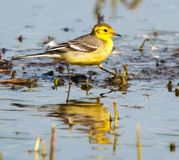 Western yellow wagtail -  Motacilla flava in pond Stock Image