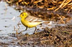 Western yellow wagtail -  Motacilla flava Royalty Free Stock Image