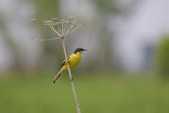 Western Yellow Wagtail (Motacilla flava). Stock Photo