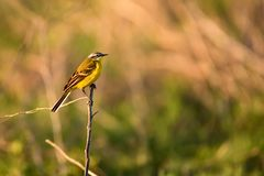 Western Yellow Wagtail or Motacilla flava on tree. Close up beautiful Western Yellow Wagtail or Motacilla flava sitting on tree branch Stock Image