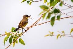Western Yellow Wagtail or Motacilla flava on tree Stock Photos
