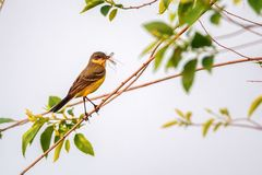 Western Yellow Wagtail or Motacilla flava on tree. Close up beautiful Western Yellow Wagtail or Motacilla flava sitting on tree branch with prey in its beak Royalty Free Stock Photos