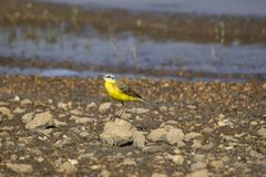 Western yellow wagtail, Motacilla flava, Veer Dam, Maharashtra, India. Western yellow wagtail, Motacilla flava at Veer Dam, Maharashtra, India royalty free stock images