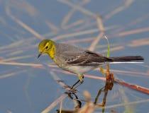Western Yellow Wagtail (Motacilla flava) Stock Photography