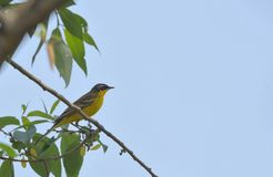 Western yellow wagtail Motacilla flava. On spring brunch Royalty Free Stock Images