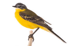 Western yellow wagtail Royalty Free Stock Photo