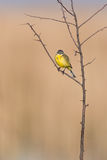 Western Yellow Wagtail Royalty Free Stock Images