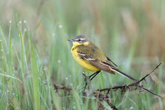 Western Yellow Wagtail Stock Photos