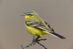 Western Yellow Wagtail Royalty Free Stock Image