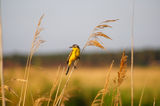 Western yellow wagtail (motacilla flava). Royalty Free Stock Photo