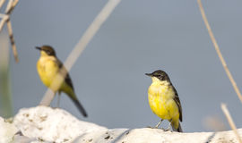 Western Yellow Wagtails Stock Photo
