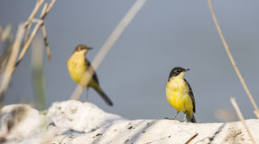 Western Yellow Wagtails Royalty Free Stock Photo